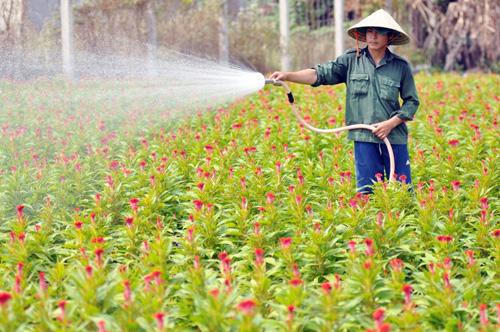 Tất bật trên những vựa hoa Tết ở Sài Gòn - 15