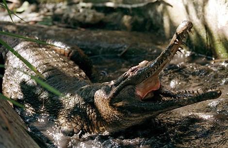 Ít nhất 56 người chết vì bia có độc mật cá sấu - 1