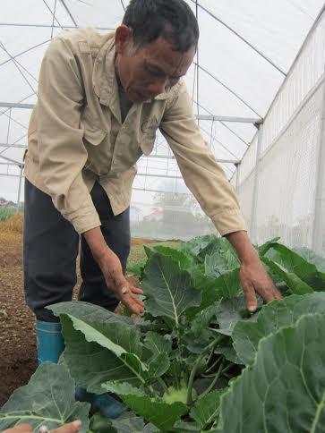 """""""Lão khùng"""" trồng rau trái vụ, thu trăm triệu - 2"""