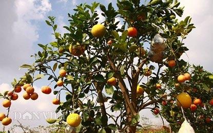"""Lạc vào vườn cây """"ngũ-thất-cửu quả"""" độc nhất vô nhị giữa Thủ đô - 1"""