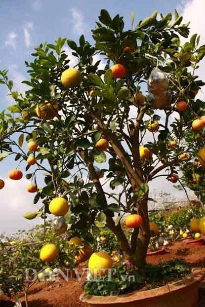 """Lạc vào vườn cây """"ngũ-thất-cửu quả"""" độc nhất vô nhị giữa Thủ đô - 12"""