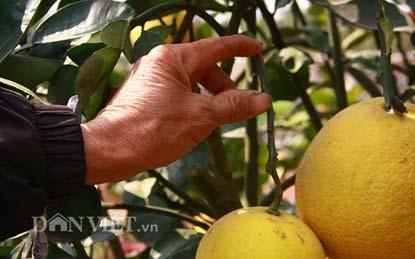 """Lạc vào vườn cây """"ngũ-thất-cửu quả"""" độc nhất vô nhị giữa Thủ đô - 8"""