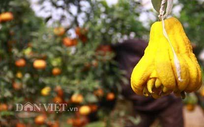 """Lạc vào vườn cây """"ngũ-thất-cửu quả"""" độc nhất vô nhị giữa Thủ đô - 9"""