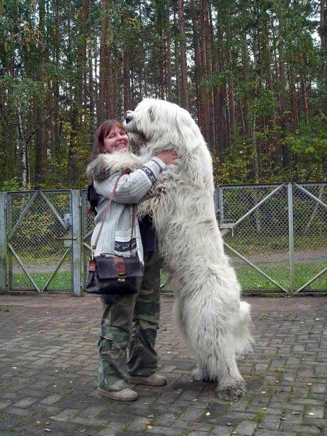 Khi đứng bằng hai chân sau, chú chó khổng lồ này cao hơn hẳn chủ nhân của mình.