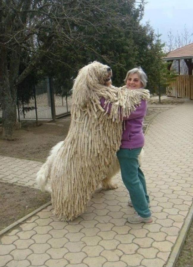 Chú chó có bộ lông như chổi lau nhà nổi tiếng với thân hình cao lớn.