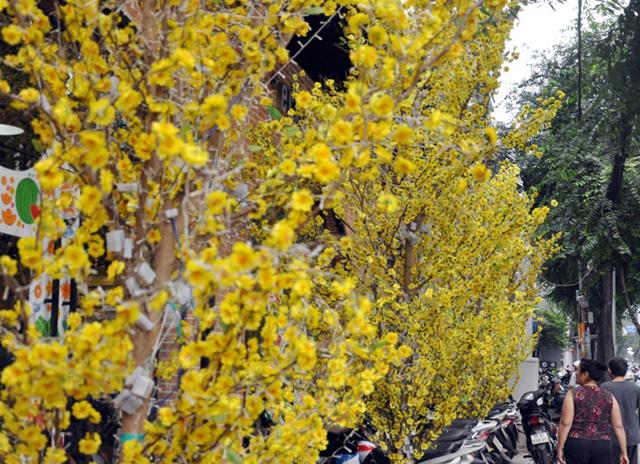 Hoa mai, đào khoe sắc rực rỡ giữa Sài Gòn - 5