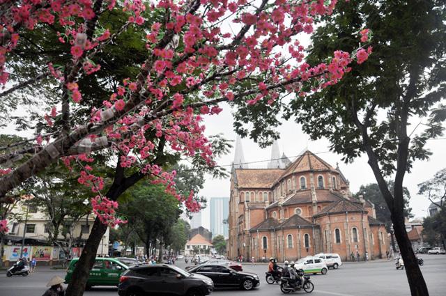 Hoa mai, đào khoe sắc rực rỡ giữa Sài Gòn - 14