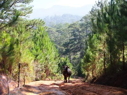 """Chinh phục """"nóc nhà"""" Lâm Đồng và ngủ giữa rừng thông - 14"""