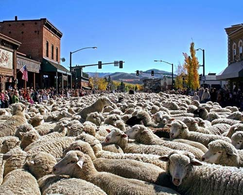 Ấn tượng hàng ngàn chú cừu diễu hành tại Mỹ - 4