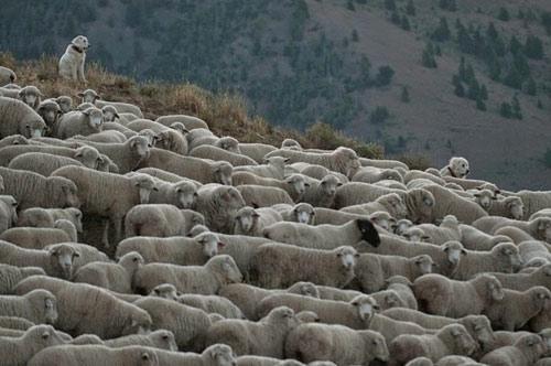 Ấn tượng hàng ngàn chú cừu diễu hành tại Mỹ - 5