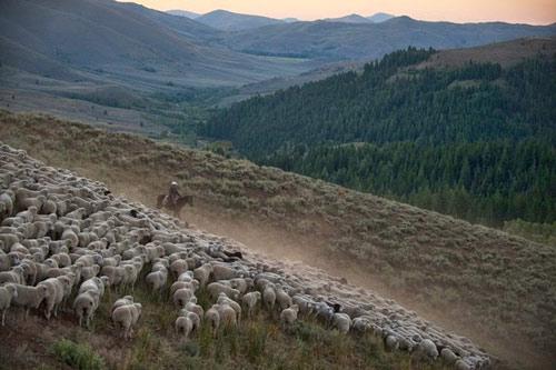 Ấn tượng hàng ngàn chú cừu diễu hành tại Mỹ - 6