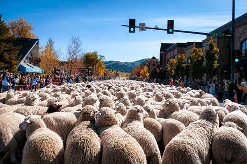 Ấn tượng hàng ngàn chú cừu diễu hành tại Mỹ - 1