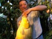 Câu được cá chép vàng dài gần 1 mét
