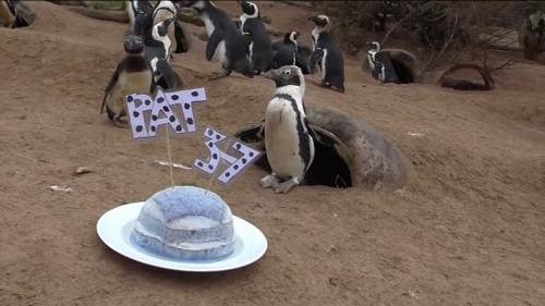 """""""Cụ"""" chim cánh cụt cao tuổi nhất nước Anh mở tiệc sinh nhật - 2"""
