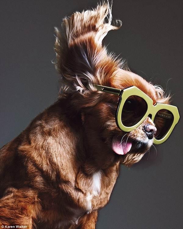 Chú chó không răng vụt sáng thành ngôi sao thời trang - 1