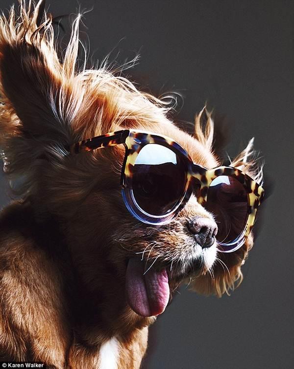 Chú chó không răng vụt sáng thành ngôi sao thời trang - 3