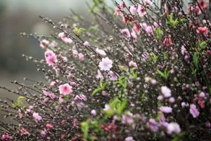 Hoa đào len lỏi từng ngõ phố Thủ đô chờ đón xuân