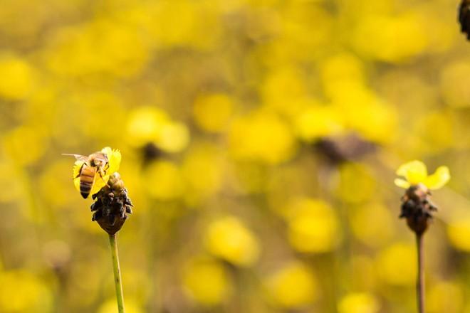 Thảm hoa vàng khổng lồ ở Vườn quốc gia Tràm Chim - 5