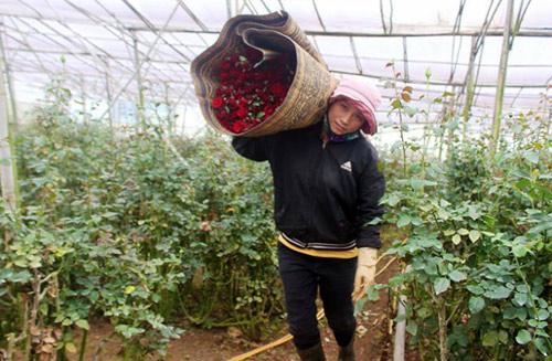 Hoa hồng Đà Lạt tăng giá gấp 5 lần trước Valentine - 1