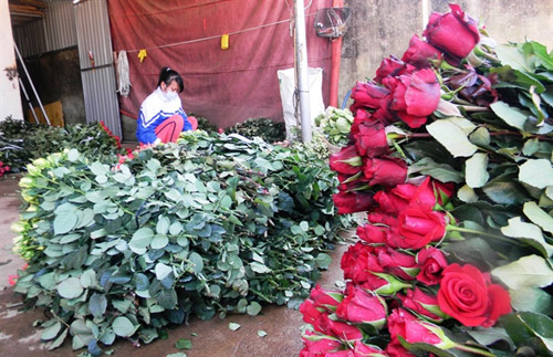 Hoa hồng Đà Lạt tăng giá gấp 5 lần trước Valentine - 2