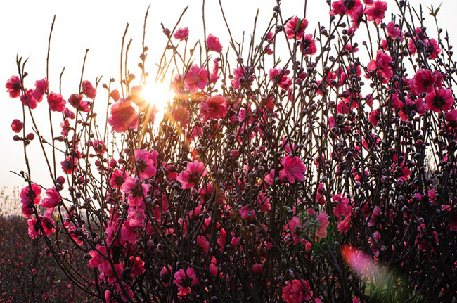 Vườn đào hàng trăm hecta trên cánh đồng làng La Cả (Hà Đông) đang nở rộ trong những ngày cuối năm khiến nơi đây như một bức tranh mùa xuân. Thời tiết nắng dịp cuối năm khiến hoa đua nở ngay từ rằm tháng chạp.