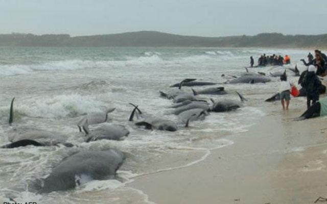 200 cá voi mắc cạn, phơi mình trên bãi biển New Zealand - 1