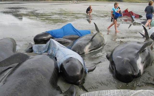 200 cá voi mắc cạn, phơi mình trên bãi biển New Zealand - 2