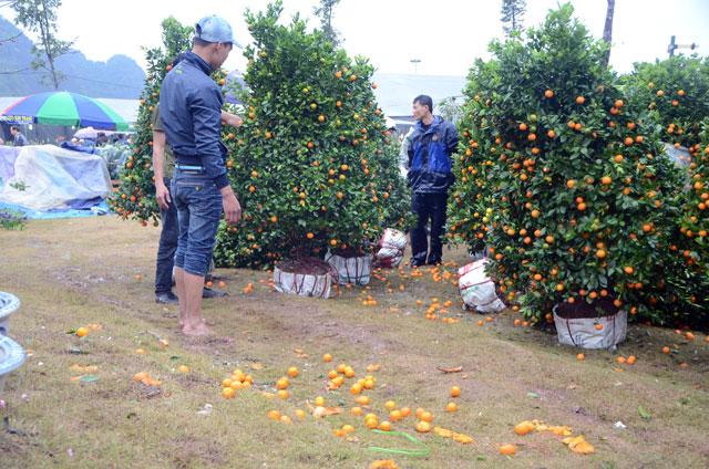 Chợ hoa xuân Hạ Long: Đào, mai tan tác dưới mưa rào - 3