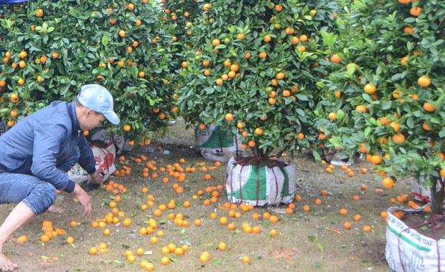 Chợ hoa xuân Hạ Long: Đào, mai tan tác dưới mưa rào - 4