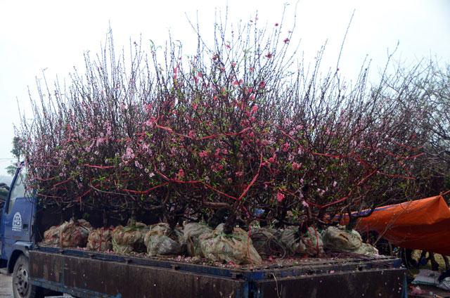 Chợ hoa xuân Hạ Long: Đào, mai tan tác dưới mưa rào - 14