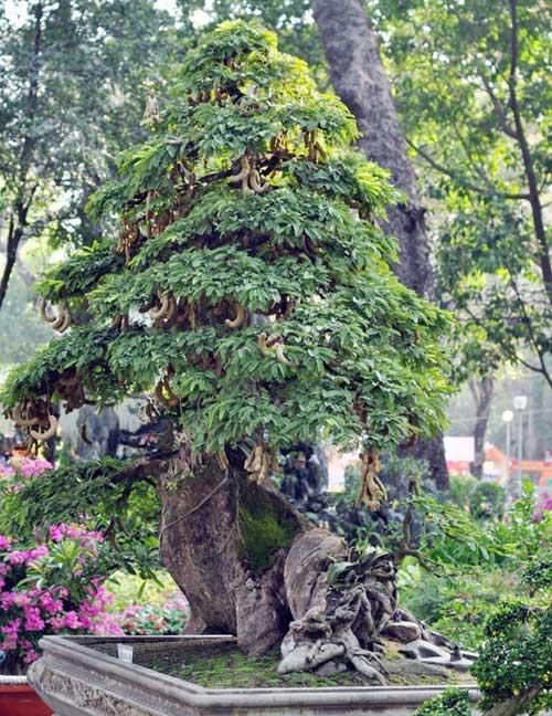Ngắm cây me gần 100 tuổi trĩu quả giá bạc tỷ - 2