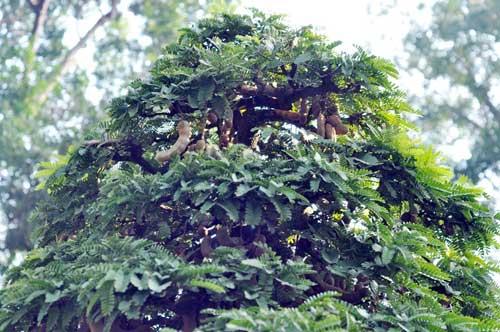 Ngắm cây me gần 100 tuổi trĩu quả giá bạc tỷ - 4