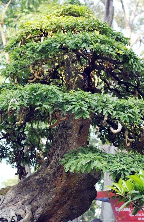 Ngắm cây me gần 100 tuổi trĩu quả giá bạc tỷ - 1