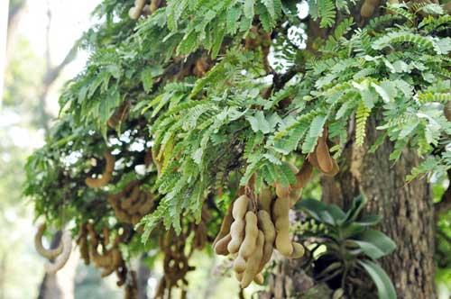 Ngắm cây me gần 100 tuổi trĩu quả giá bạc tỷ - 6