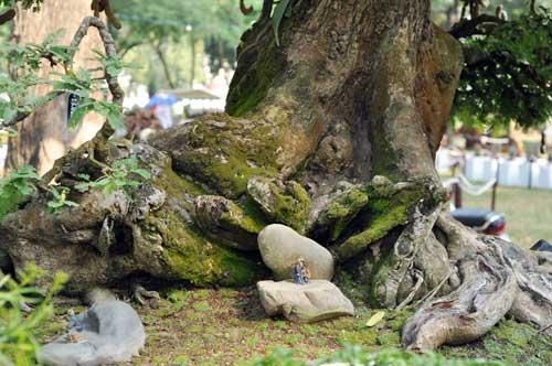 Ngắm cây me gần 100 tuổi trĩu quả giá bạc tỷ - 8