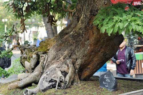 Ngắm cây me gần 100 tuổi trĩu quả giá bạc tỷ - 3