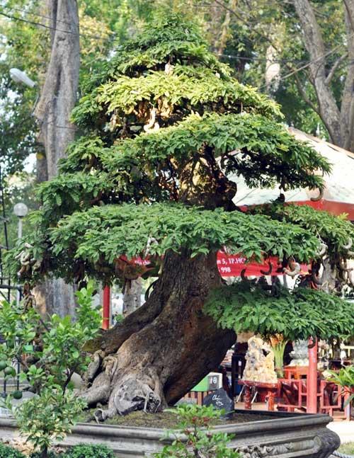 Ngắm cây me gần 100 tuổi trĩu quả giá bạc tỷ - 13