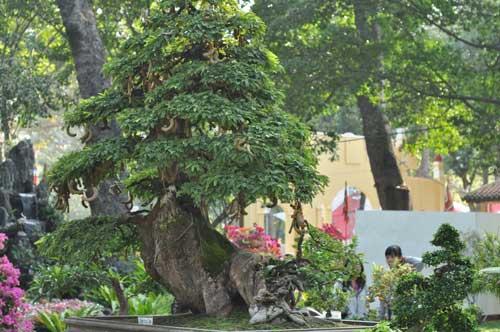 Ngắm cây me gần 100 tuổi trĩu quả giá bạc tỷ - 16