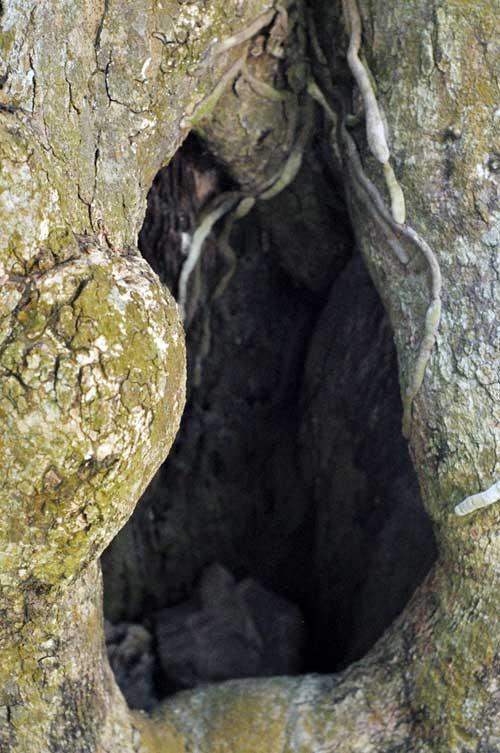 Ngắm cây me gần 100 tuổi trĩu quả giá bạc tỷ - 10