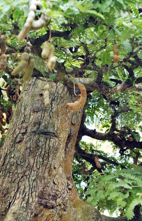 Ngắm cây me gần 100 tuổi trĩu quả giá bạc tỷ - 14