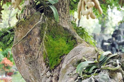 Ngắm cây me gần 100 tuổi trĩu quả giá bạc tỷ - 11