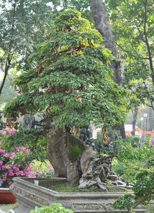 Ngắm cây me gần 100 tuổi trĩu quả giá bạc tỷ - 15