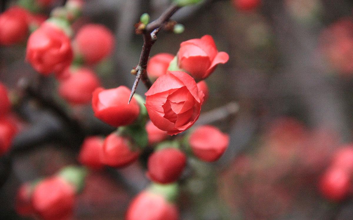Mai đỏ cho hoa có đường kính 3-4,5 cm, thông thường màu đỏ cam tươi, nhưng cũng có thể màu trắng hay hồng; ra hoa vào cuối mùa đông hay đầu mùa xuân.