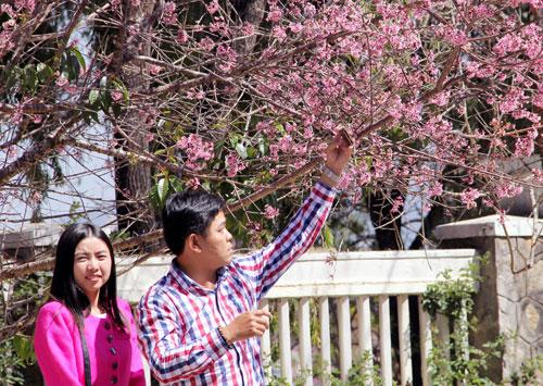 Ngắm một Đà Lạt quyến rũ với mai anh đào ngày xuân - 9