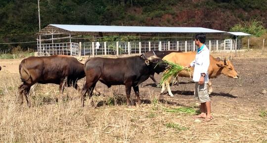 Đột nhập trang trại bò tót lai - 5