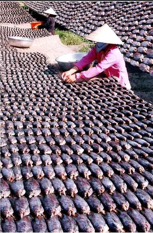 Chùm ảnh: Nông dân Cà Mau chụp đìa cá đồng ngày Tết - 9