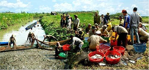 Chùm ảnh: Nông dân Cà Mau chụp đìa cá đồng ngày Tết - 3