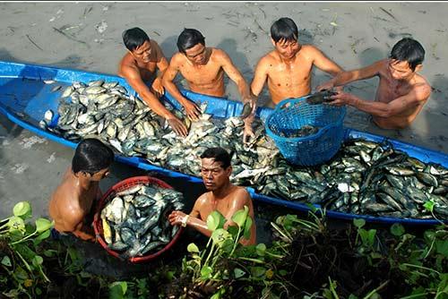 Chùm ảnh: Nông dân Cà Mau chụp đìa cá đồng ngày Tết - 2