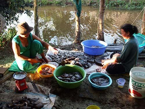 Chùm ảnh: Nông dân Cà Mau chụp đìa cá đồng ngày Tết - 8