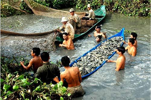 Chùm ảnh: Nông dân Cà Mau chụp đìa cá đồng ngày Tết - 1